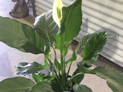 Peace Lilly image